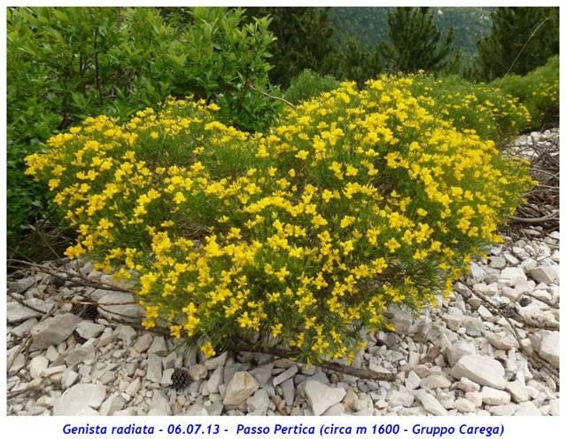 Ginestra stellata for Ocra pianta